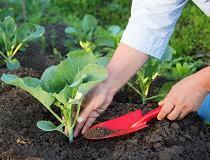 4564aaaccf04234625aa45f9d8fa2583 Розсада капусти вирощування в домашніх умовах