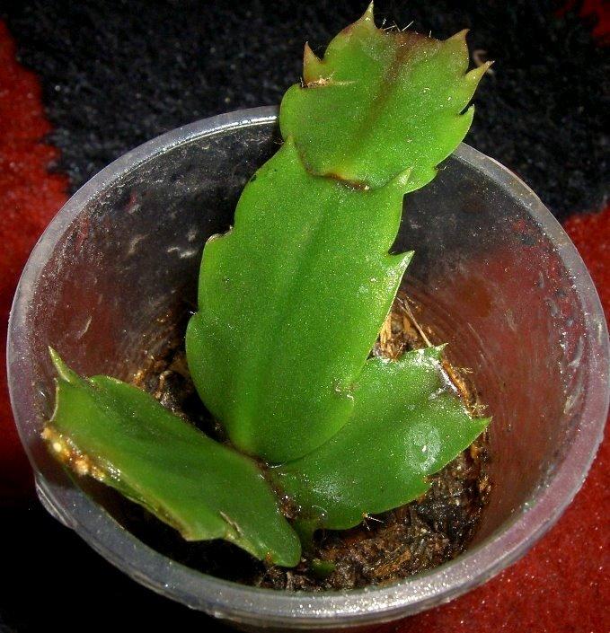 Размножение в домашних условиях цветка декабрист 858