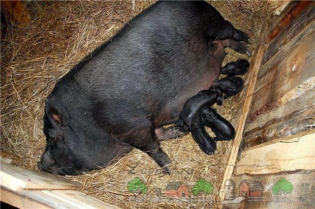Что следует помнить при кормлении покупных свиней.