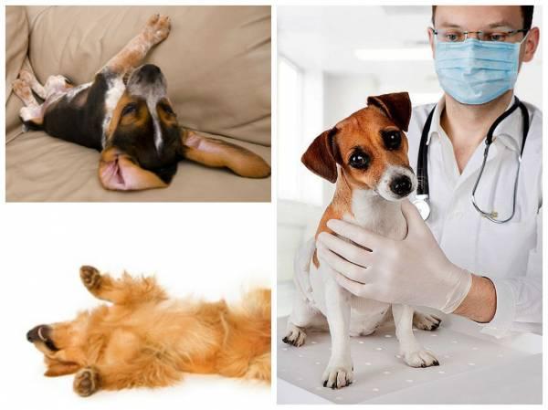 Судороги у собаки причины первая помощь