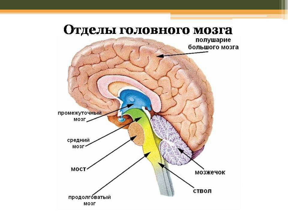 06e068ead9b95209e7c208511f9888dc Будова головного мозку і його функції