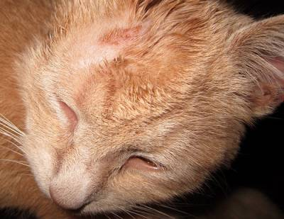 Розовый лишай у кота фото