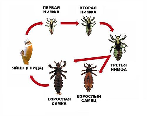 паразиты живущие кишечнике человека