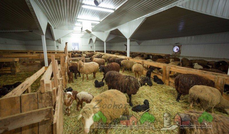 Как открыть ферму по выращиванию баранов 57