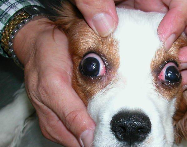 комментарий почему у собаки красные белки себе: деревня Вахрамеево