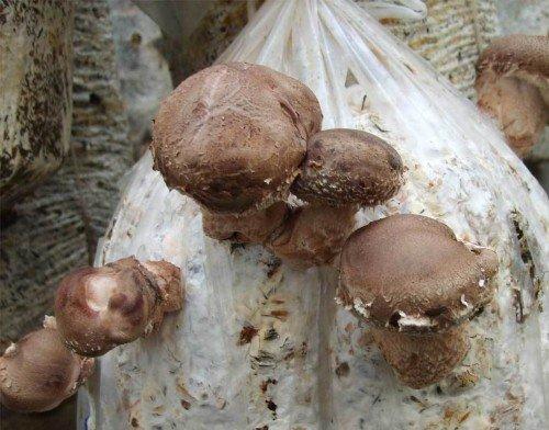 видео как выращивать белые грибы