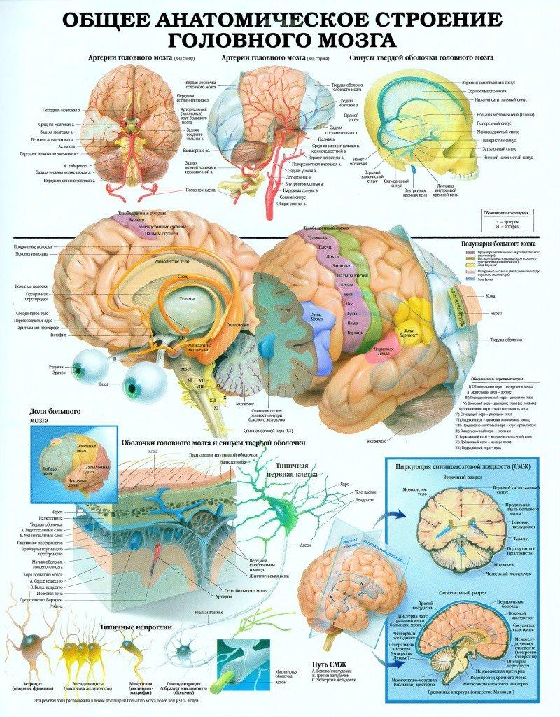 4eb74c6e4c813f676dd173a504fb0d74 Будова головного мозку і його функції