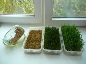 Как в домашних условиях посадить пшеницу в 937