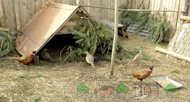 Как сделать гнезда фазанам в неволе видео