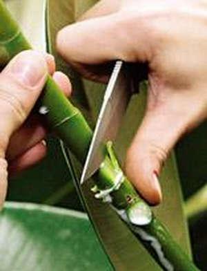 Как размножать фикус листом с