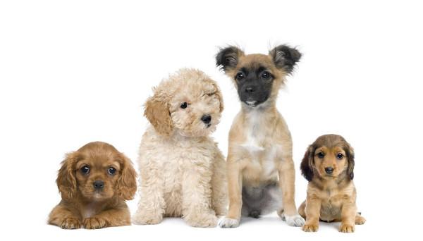 собаки фоне белом и щенки картинки на