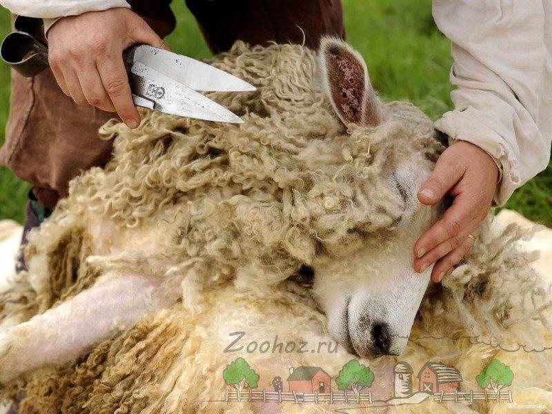 Коли треба стригти овець?