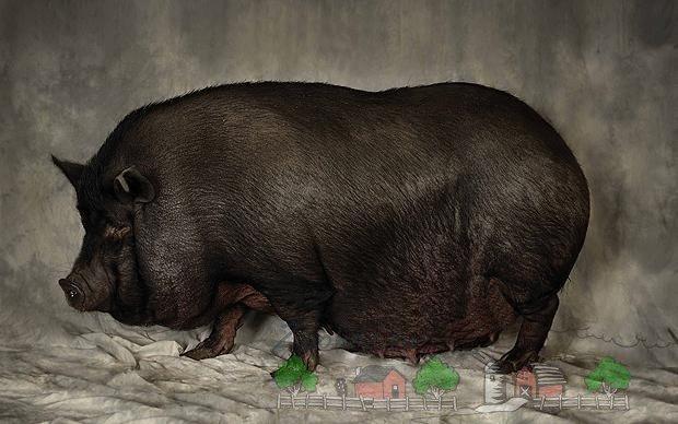 фото носа свиньи