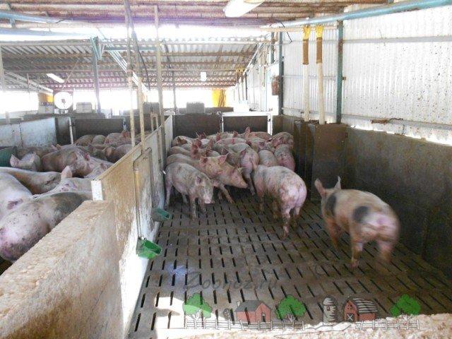 Свиноферма на 50 голов видео