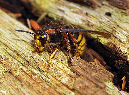 Впродовж минулої доби прикарпатські рятувальники чотири рази виїжджали на боротьбу із агресивними комахами