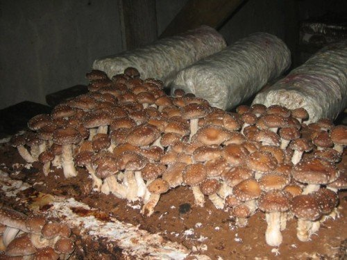 Можно ли вырастить белый гриб в домашних