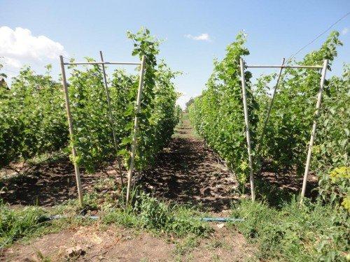 Конструкция для винограда своими руками фото 51