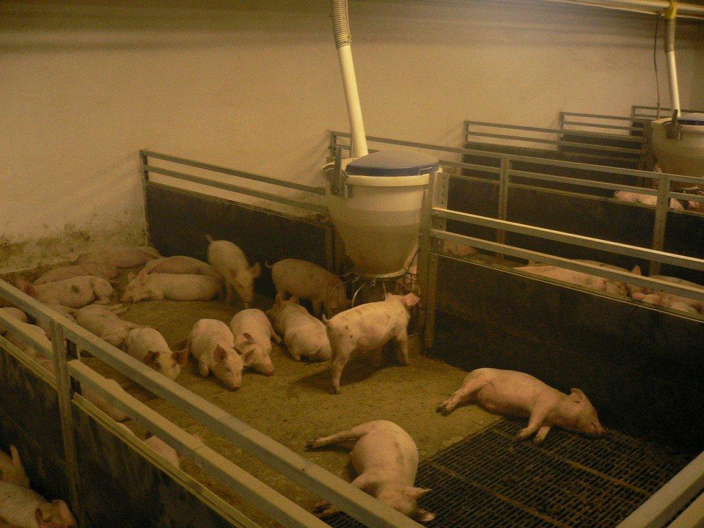 Свинарник на 4 головы своими руками 17