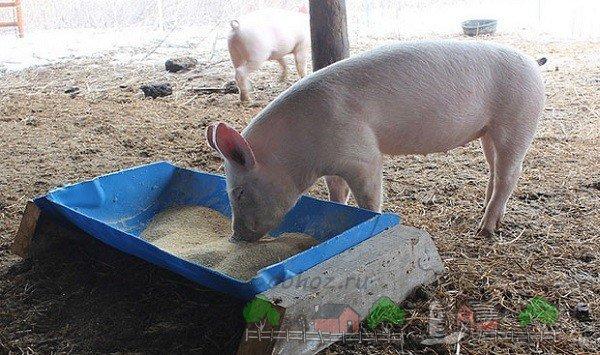 Фото кормушка для свиней