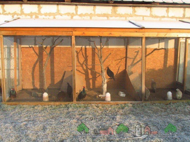 Разведения фазанов в домашних условиях бизнес 968
