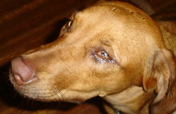 paxil toxicity in dogs