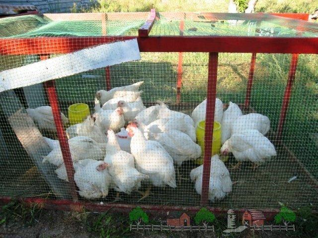 Выращивание и уход за цыплятами бройлерами в  700
