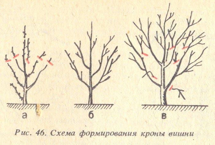 Если посадить ветку вишни