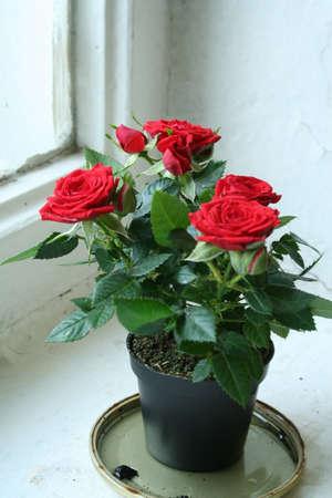 Розы содержание и уход