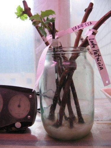 Как посадить виноград из черенков в домашних условиях 860