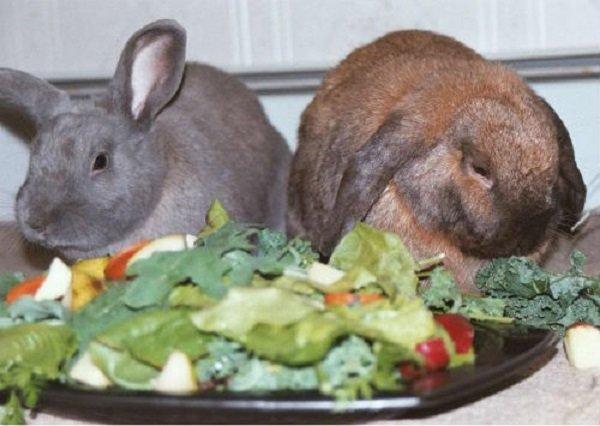 Чем кормить декоративными кроликами в домашних условиях 58