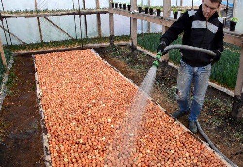 Выращивание лука на перо в домашних условиях зимой на продажу 68
