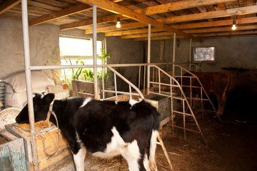 Стайка для коров своими руками