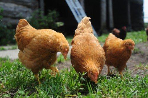 инструменты цыплята клюют лапы до крови эллиптические геоцентрические