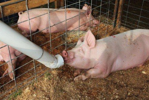Чем кормить свиней в домашних условиях 113