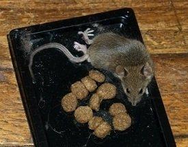 Мышеловка своими руками для крысы 1
