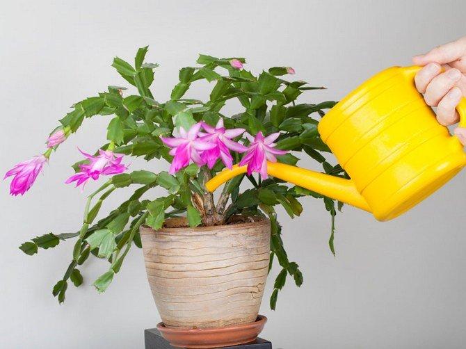 Можно ли поливать цветы мочой человека