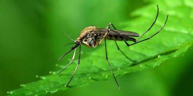 "Результат пошуку зображень за запитом ""комарі"""