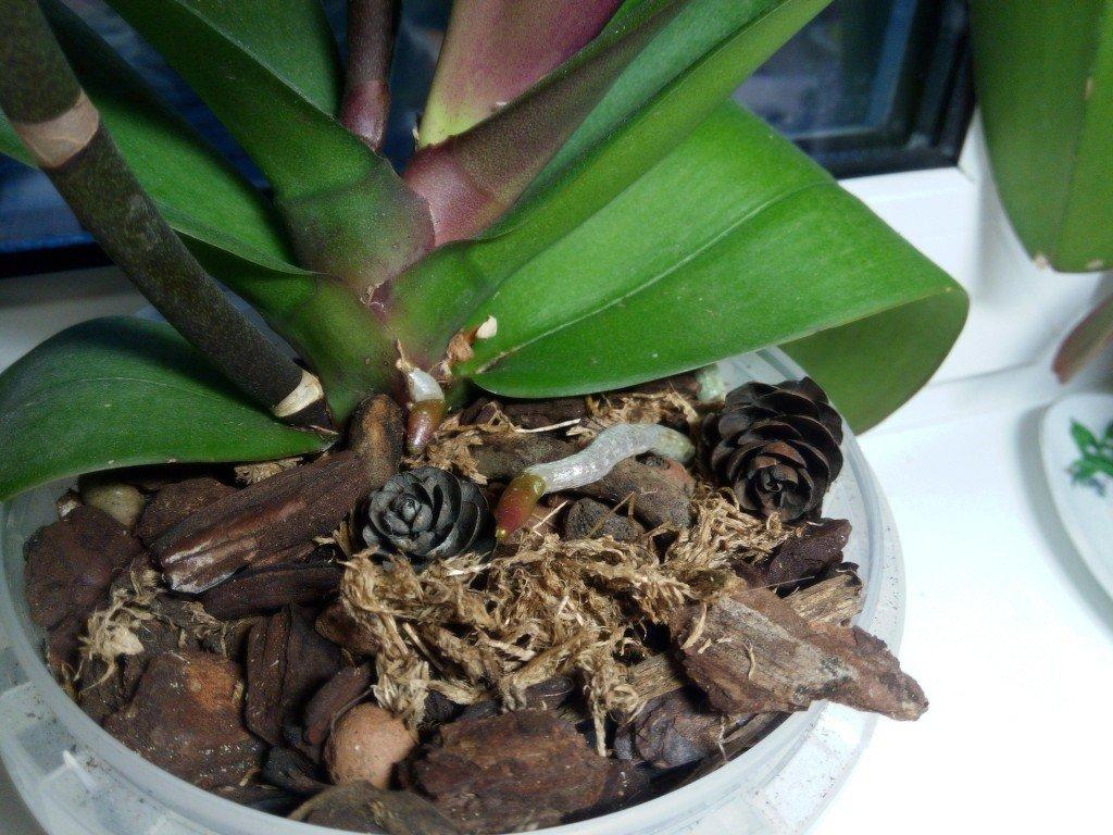 Як доглядати за орхідеєю