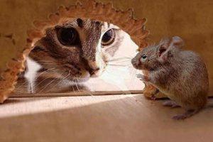 Та сняться миші коли щур