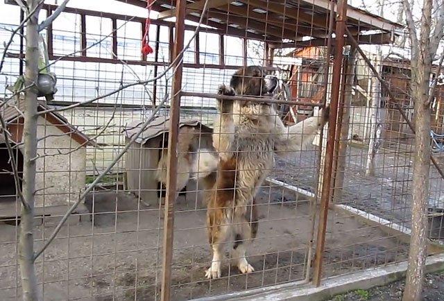 Вольеры для кавказской овчарки своими руками
