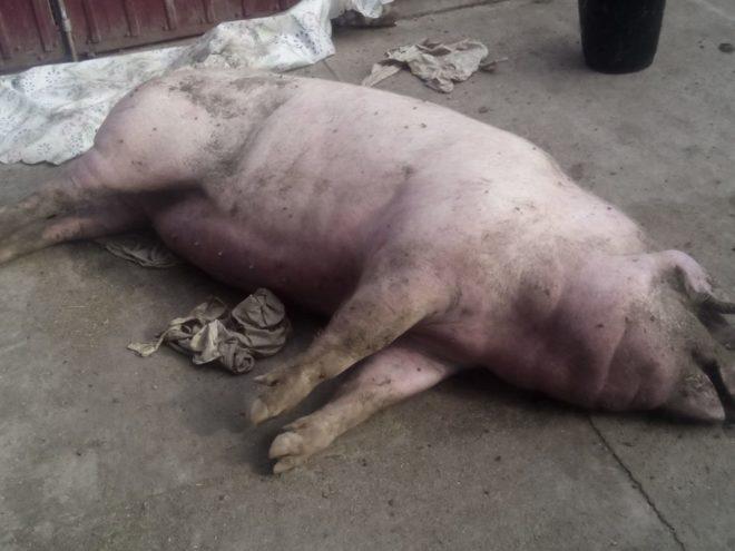 Картинки по запросу африканська чума свиней фото