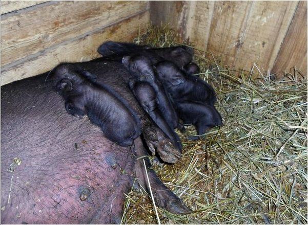 Помещение, в котором будут проходить роды у свиньи, должно быть сухим, без сквозняков, с хорошим освещением и непременно тёплым.