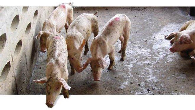 Цирковирусная інфекція свиней: лікування, симптоми, причини Свині
