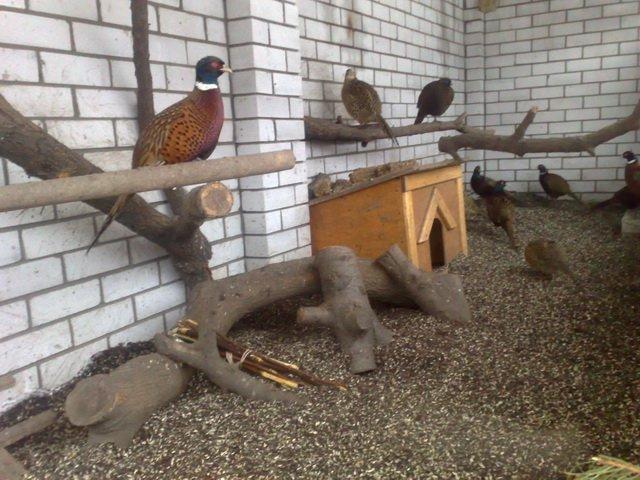 Разведения фазанов в домашних условиях бизнес 327