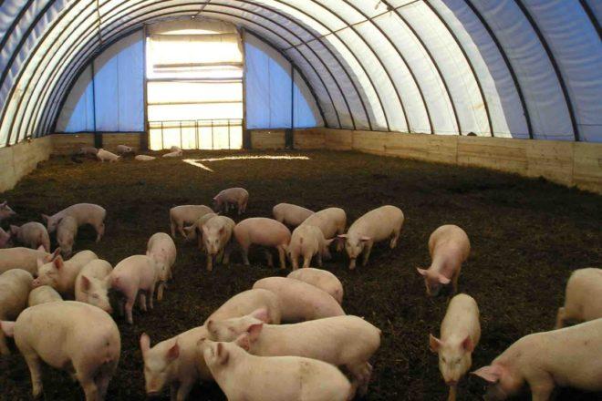 Выращивание свиней: бизнес-план с расчетами 83