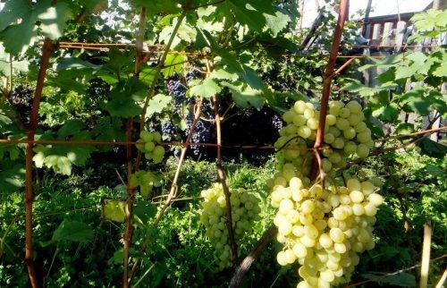 Выращивание сортового винограда 81