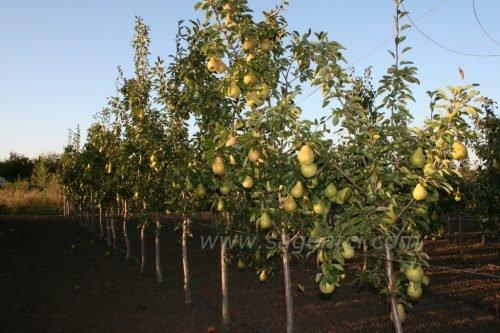 Продажа саженцев фруктовых деревьев в украине
