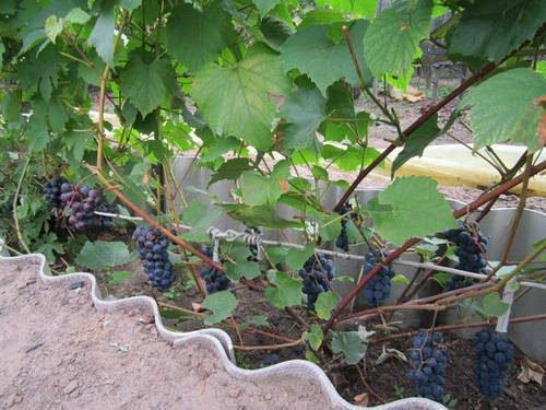 Выращивание винограда в западной сибири 73